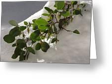 Snowy Manzanita Greeting Card