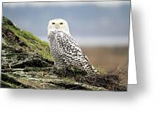 Snowy Owl At Boundary Bay Vancouver Greeting Card