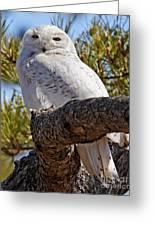 Snowy Owl Resting Greeting Card