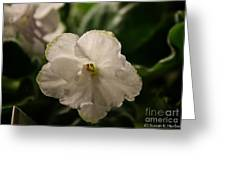 Snowy White Violet Greeting Card