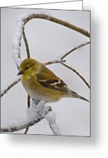 Snowy Yellow Finch Greeting Card