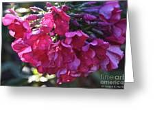 Soaked Phlox Greeting Card