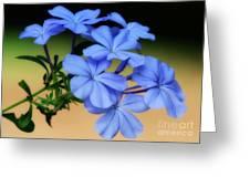 Soft Blue Plumbago  Greeting Card