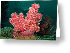 Soft Coral Greeting Card