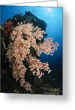 Soft Coral On The Liberty Wreck, Bali Greeting Card