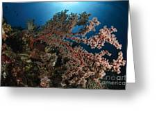 Soft Coral Reef Seascape, Indonesia Greeting Card