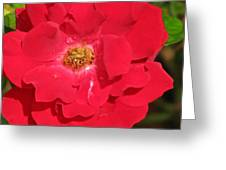 Soft Red Rose Greeting Card
