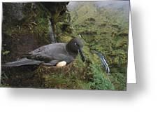Sooty Albatross Phoebetria Fusca Greeting Card