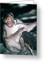 Southern Pig-tailed Macaque Greeting Card