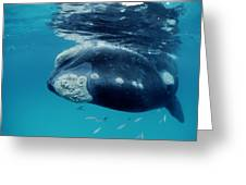 Southern Right Whale Australia Greeting Card