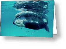 Southern Right Whale Eubalaena Greeting Card
