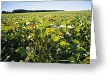 Soybeans Sprout In A Large Eastern Greeting Card by Stephen St. John