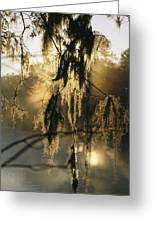 Spanish Moss Hanging From A Tree Branch Greeting Card