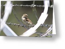 Sparrow - Protected By Razor Wire Greeting Card