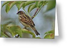 Sparrow I Greeting Card
