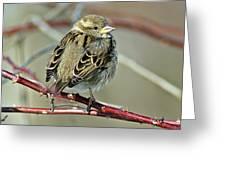 Sparrow IIi Greeting Card