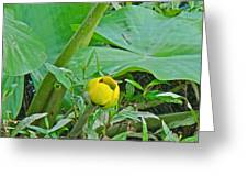 Spatterdock Wild Yellow Water Lily - Nuphar Lutea Greeting Card