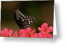Spice Bush Swallowtail And Azaleas Greeting Card by Lara Ellis