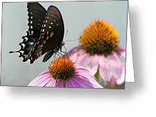 Spicebush Butterfly On Echinacea Greeting Card