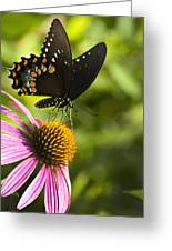 Spicebush Swallowtail Butterfly And Coneflower Greeting Card