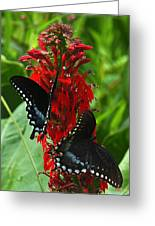Spicebush Swallowtails Visiting Cardinal Lobelia Din041 Greeting Card