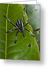 Spider Weevil Papua New Guinea Greeting Card