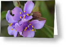 Spiderwort Greeting Card