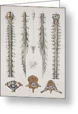 Spinal Cord Anatomy, 1844 Artwork Greeting Card