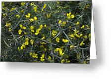 Spiny Broom (calicotome Villosa) Greeting Card