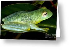 Spiny Glass Frog Greeting Card