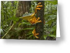 Splendid Leaf Frog  Costa Rica Greeting Card