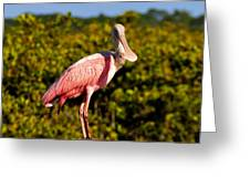 Spoonbill Greeting Card by David Lee Thompson
