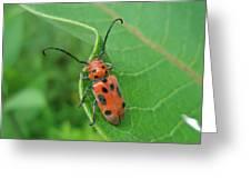 Spotted Asparagus Beetle - Crioceris Duodecimpunctata Greeting Card