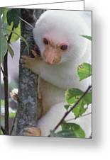 Spotted Cuscus Phalanger Maculatus Greeting Card