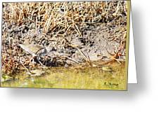 Spotted Sandpiper At The Canal Greeting Card