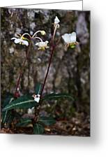 Spotted Wintergreen Plants Greeting Card