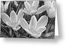 Spring Crocus In Black And White Greeting Card