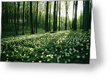 Spring Forest View With Anemones, Rugen Greeting Card by Sisse Brimberg
