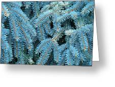 Spruce Conifer Nature Art Prints Trees Greeting Card