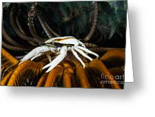 Squat Lobster Carrying Eggs, Indonesia Greeting Card