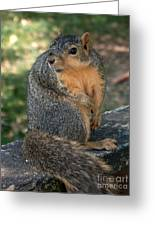 Squirrel Looking For A Hand Out Greeting Card