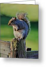 Squirrel Posing On Fence Post Posing - C9243c Greeting Card