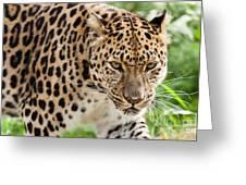 Stalking Amur Leopard Greeting Card