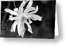 Star Magnolia Greeting Card by Lisa Phillips
