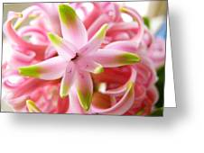 Star Of The Show Hyacinth  Greeting Card