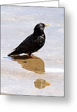Starling Paddling Greeting Card