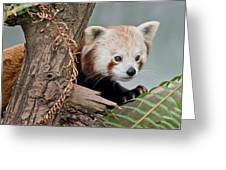 Stealthy Red Panda Greeting Card