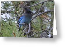 Stellar's Jay In Profile Greeting Card