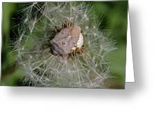Stink Bug On Dandelion Seed Head Greeting Card