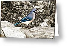 Stone Blue Jay Greeting Card